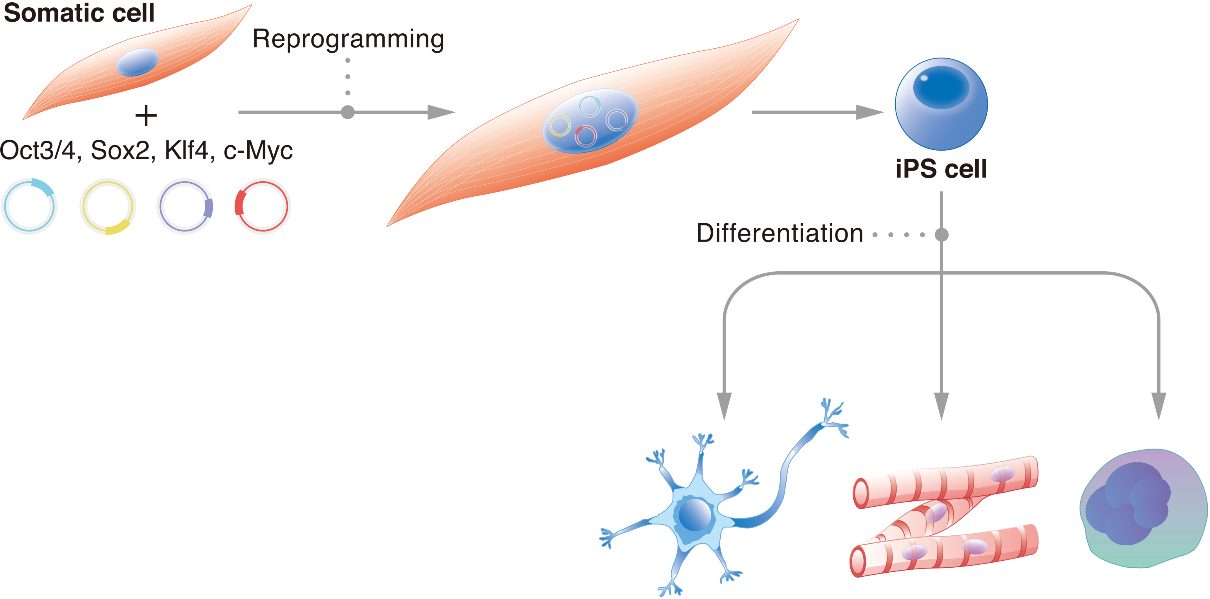 What Causes iPS Cells to Retain Positional Somatic Memory?