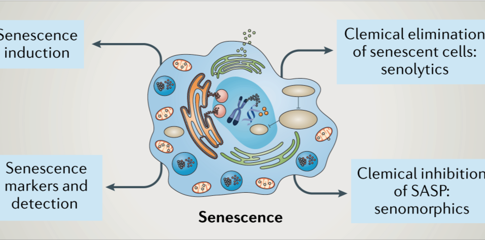 Can we differentiate between beneficial and detrimental senescent cells?
