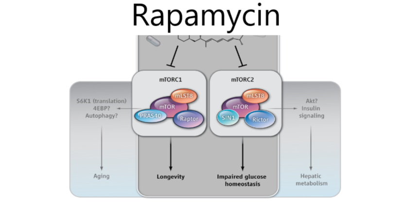 Why people taking same dose of Rapamycin have different blood Rapamycin concentrations?