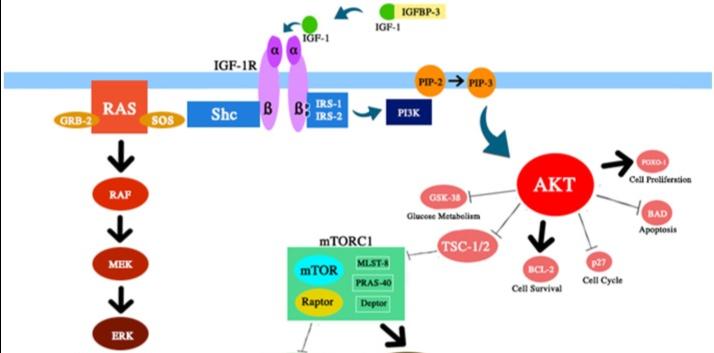 How is IGF-1 Involved in Longevity?