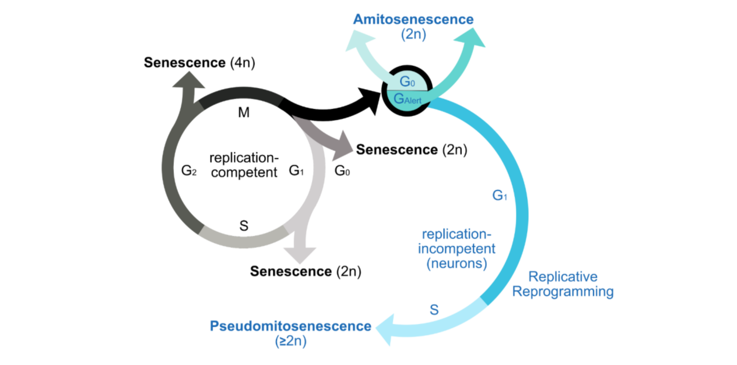 What are the characteristics of amitosenescent cells?