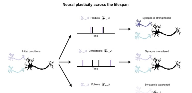 Neural plasticity: can the brain retain its learning capacity as we age?