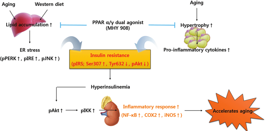 Is insulin resistance a cause or a consequence of aging?