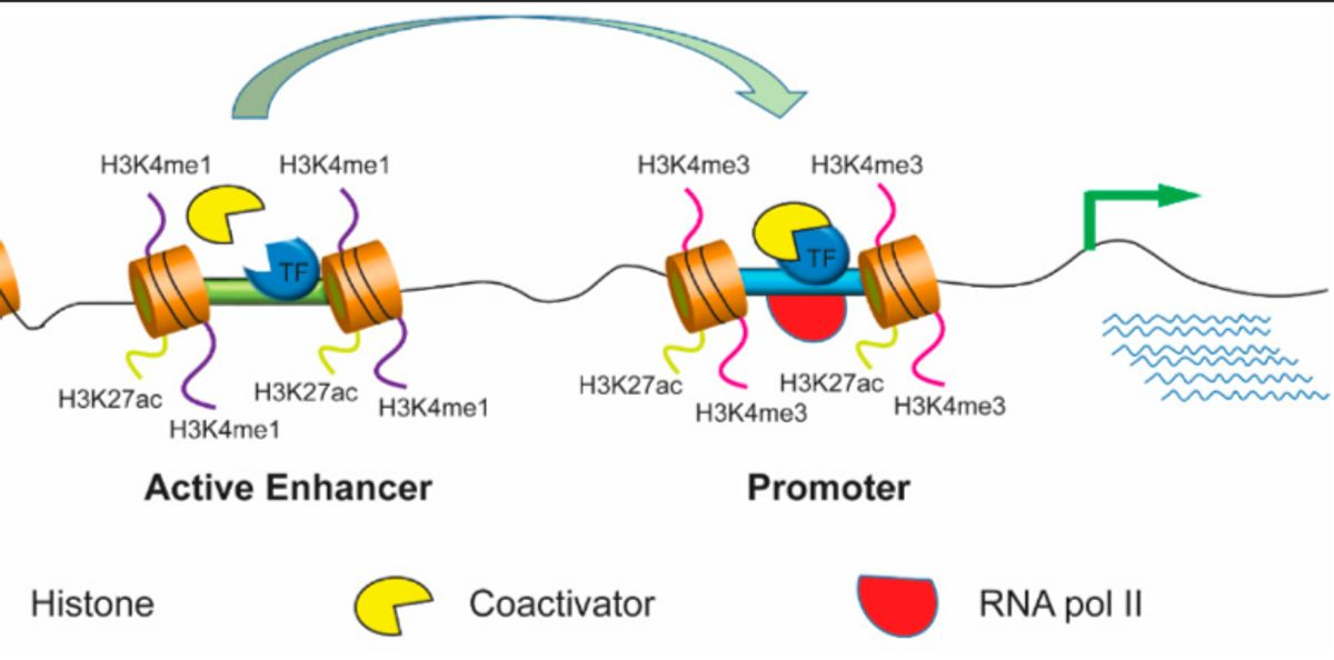 How does enhancer hypomethylation affect aging/age-related disorders?