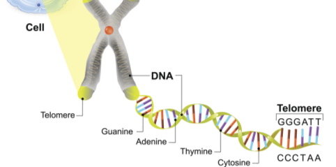 Does absolute telomere length have any effect on aging?