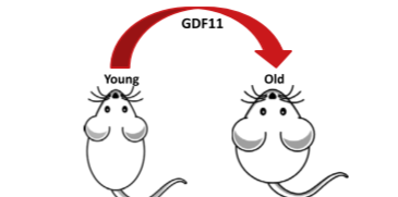How does the growth differentiation factor 11 regulate lifespan?